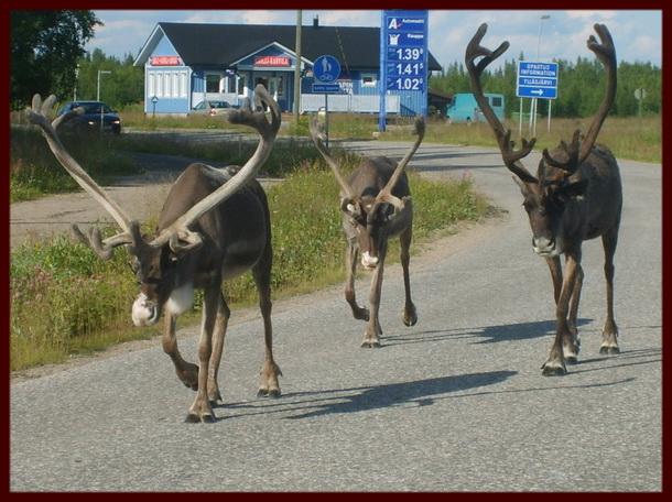 Финские олени