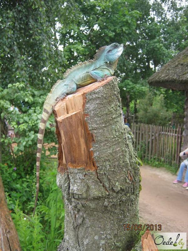 Фото с ящерицей на Сырном фестивале