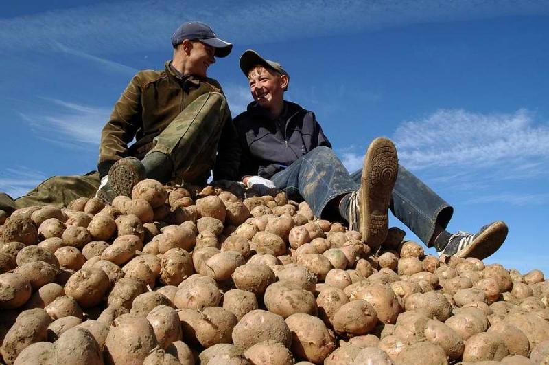 Прощай, бульба: сможем ли мы прожить без белорусской картошки?