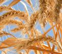 Беларусь станет экспортером зерна