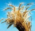 Беларусь намерена закупить в 2010 г 20-30 тыс т пшеницы с высоким содержанием клейковины.