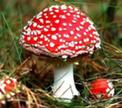 Белорусы продолжают собирать ядовитые грибы