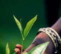 История Цейлонского чая
