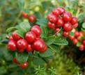 Брусника – ягода здоровья