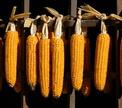 История кукурузы от инопланетян до попкорна