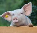 Зараженная АЧС свинина не может попасть на прилавки?