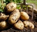 Кулинарный детектив: картофель