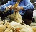 В Китае будут уничтожены 90 тысяч голов кур и введен карантин