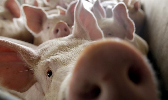 Фермерам вернули право на убой скота, но под надзором ветеринара