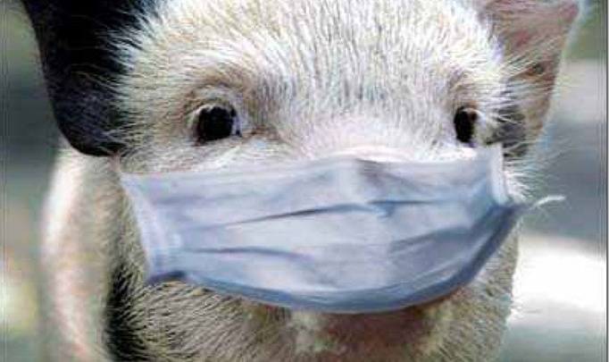 В Беларуси – чума свиней